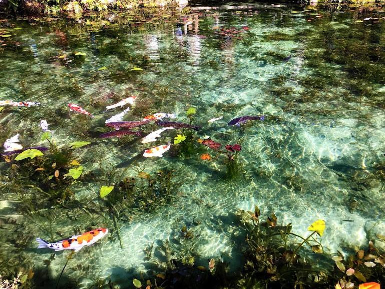 鯉が泳いでいるモネの池