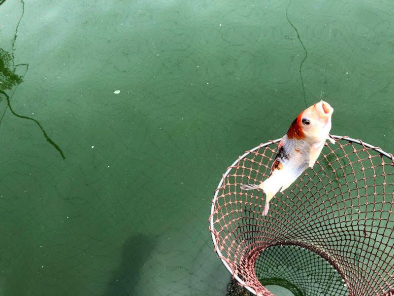 釣れた鯉の写真